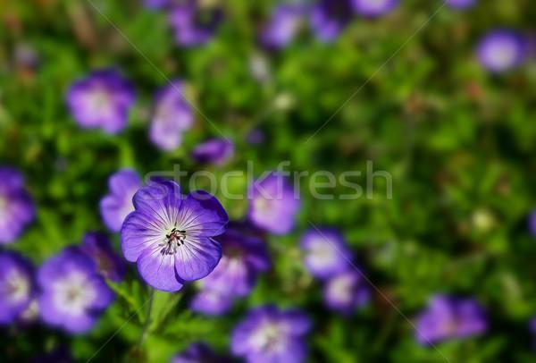 Field of Purple Wild Geraniums Stock photo © bobkeenan