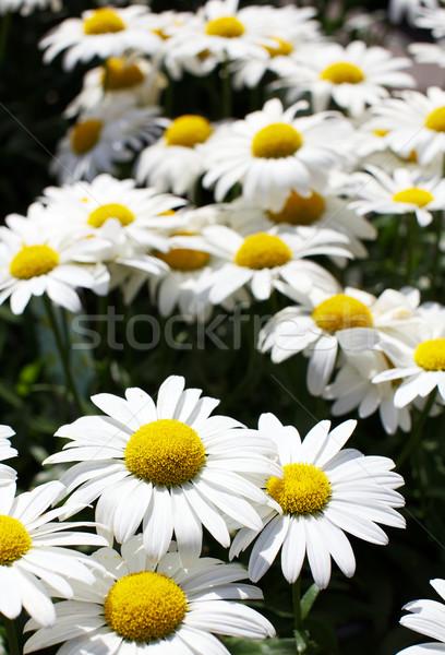 Stock photo: White and yellow large Daisies shallow dof