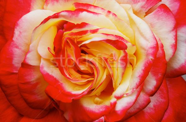 Geel roze Rood oranje steeg macro Stockfoto © bobkeenan