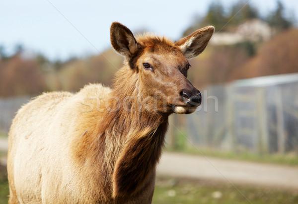 Female Elk Stock photo © bobkeenan