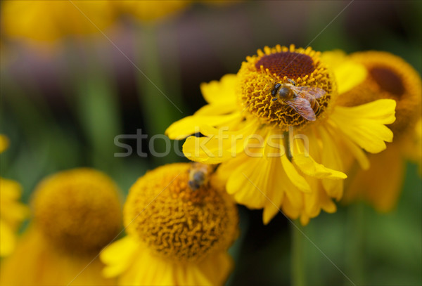 Stock photo: Yellow Cone Flowers with Bee