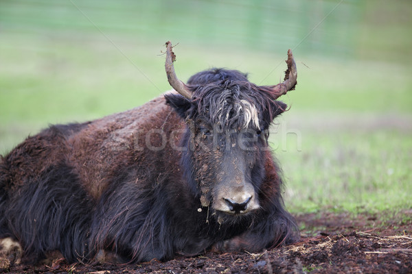 Dirty Yak Stock photo © bobkeenan