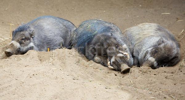 Sleeping North Sulawesi babirusa Stock photo © bobkeenan