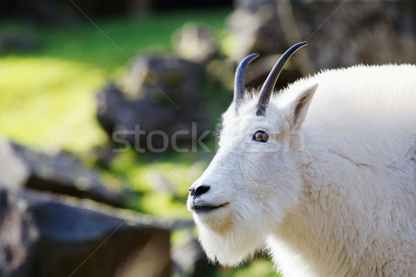 Rocky Mountain Goat Stock photo © bobkeenan