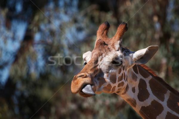 キリン サイド 舌 ブラウン 頭 紫色 ストックフォト © bobkeenan