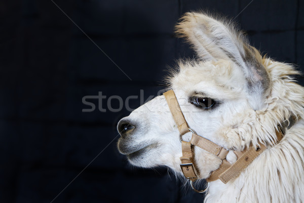 White Alpaca Head Stock photo © bobkeenan