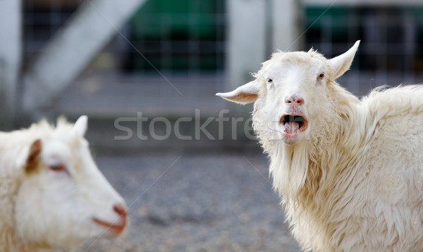 Angry Goat Stock photo © bobkeenan