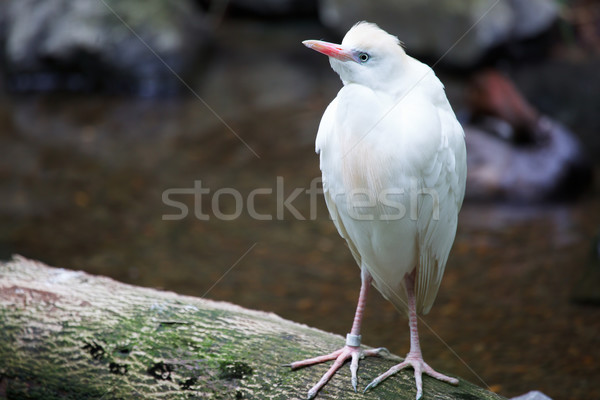 скота белый Постоянный природы области птица Сток-фото © bobkeenan