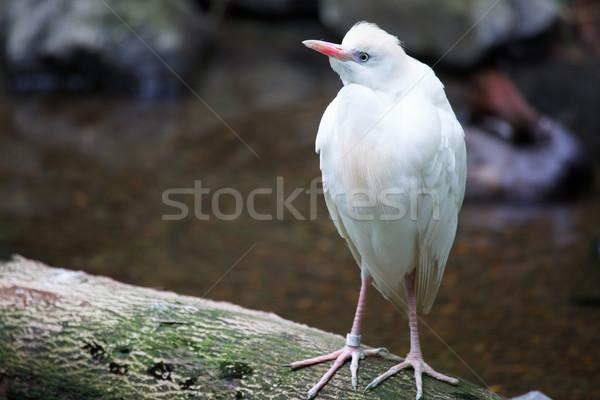 Bovins blanche permanent nature domaine oiseau Photo stock © bobkeenan
