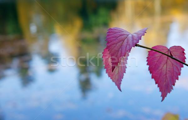 Vallen blad meer violet paars bladeren Stockfoto © bobkeenan