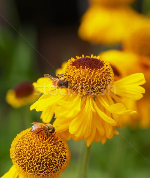 黄色 コーン 花 ミツバチ はちみつ 忙しい ストックフォト © bobkeenan