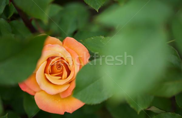 скрытый оранжевый закрывается красивой пламени красный Сток-фото © bobkeenan