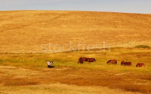 Grazing Horses Golden Field Stock photo © bobkeenan