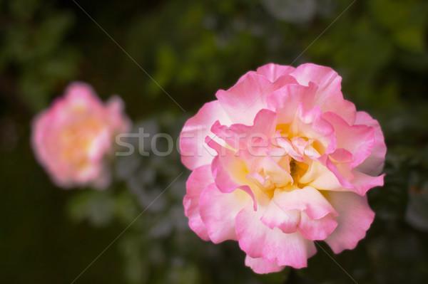 ピンク 黄色 バラ ソフト 浅い ストックフォト © bobkeenan