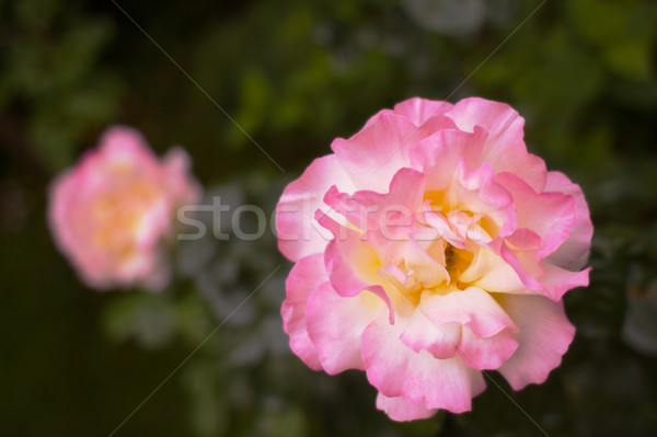 Rose jaune rose soft peu profond Photo stock © bobkeenan