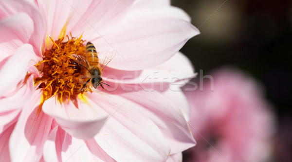 Bee on Pink Dahlia Stock photo © bobkeenan