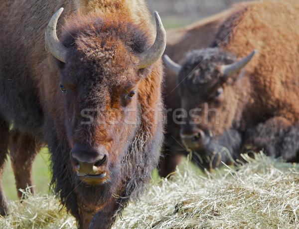 Two Buffalos soft background Stock photo © bobkeenan