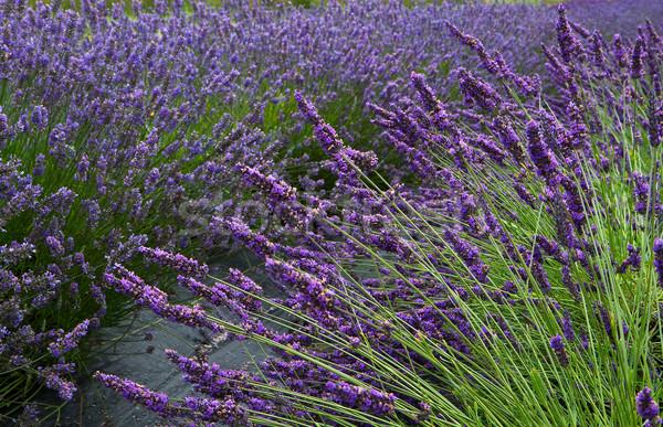 Campo di lavanda orizzontale lavanda campo di fiori diminuendo Foto d'archivio © bobkeenan