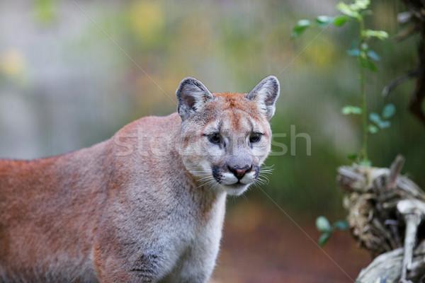 Puma puma yumuşak odak kedi dağ Stok fotoğraf © bobkeenan