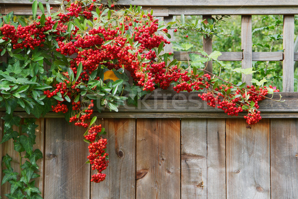 Red pyracantha berries fence close Stock photo © bobkeenan