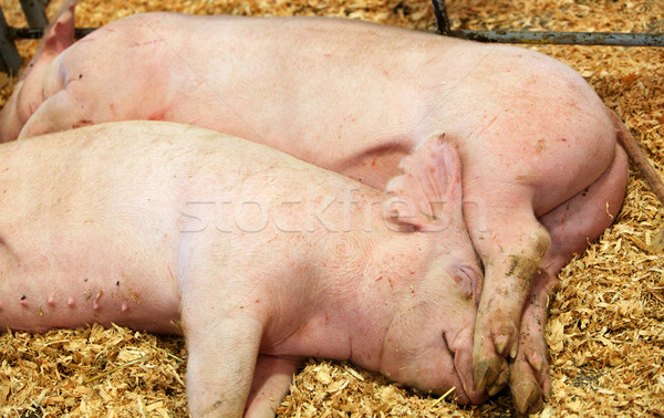 Two sleeping pigs Stock photo © bobkeenan