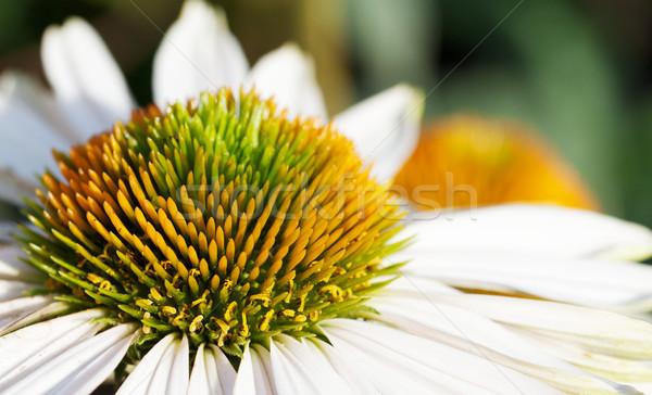 Orange green stamen white daisy macro flat Stock photo © bobkeenan