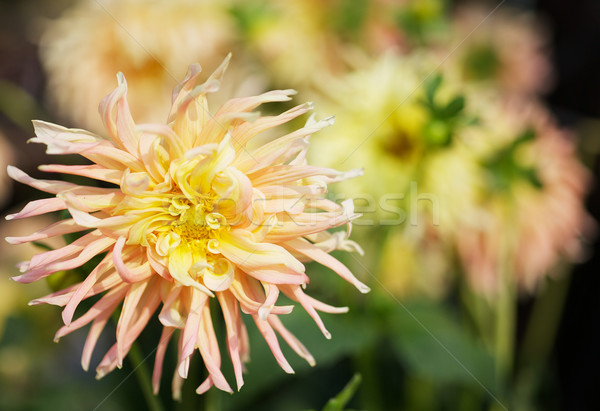 Geel dahlia roze wild bloemblaadjes Stockfoto © bobkeenan