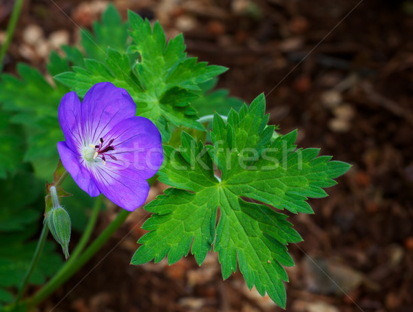 紫色 緑の葉 ソフト 自然 庭園 ストックフォト © bobkeenan