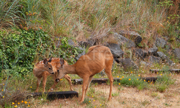 Stock photo: Fawn and Doe