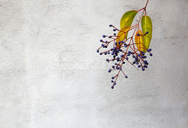 Privet berries  wall Stock photo © bobkeenan