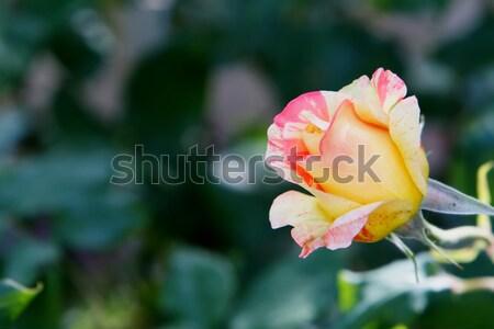 Roze Geel steeg zachte focus groen blad Stockfoto © bobkeenan