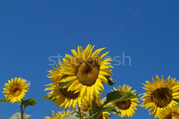 Zon bloemen blauwe hemel verscheidene zonnebloemen centrum Stockfoto © bobkeenan