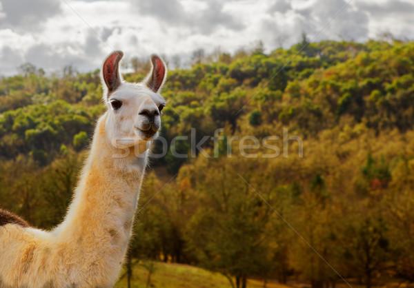 Lama stormachtig witte bruin vallen boom Stockfoto © bobkeenan