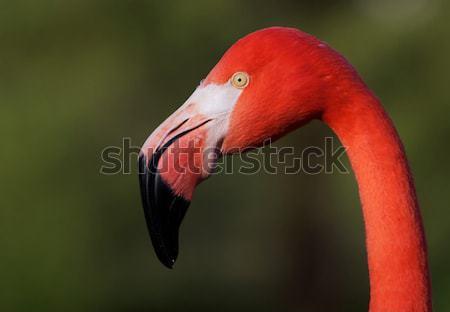 Czerwonak głowie ptaków patrząc miękkie Zdjęcia stock © bobkeenan