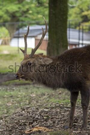Stockfoto: Herten · park · Japan · asian · dier