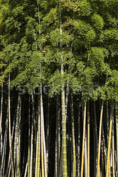 Bambu floresta ver Japão folha planta Foto stock © boggy