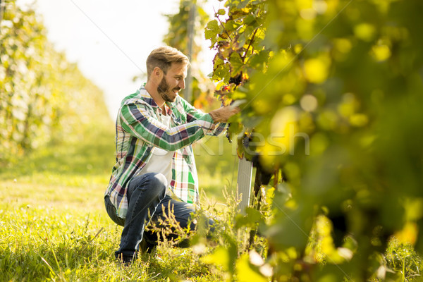 Harvester cutting bunch of grapes in vineyard rows Stock photo © boggy