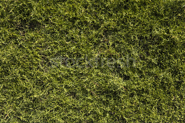 Natural green background Stock photo © boggy