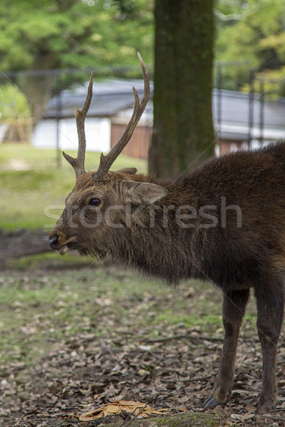 Sika deer in Nara park, Japan Stock photo © boggy