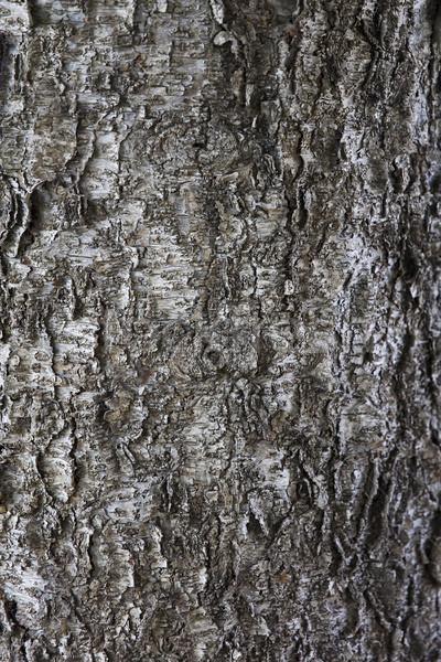 Stok fotoğraf: Eski · ağaç · havlama · doku · detay · görmek
