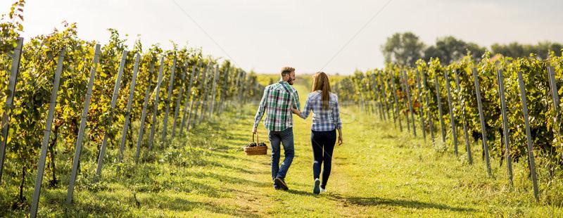 Foto stock: Colheita · uvas · vinha · ver · agricultores