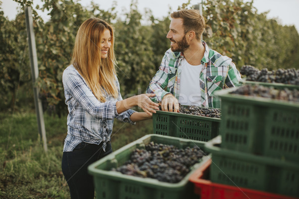 Grape harvesting in the vineyard Stock photo © boggy