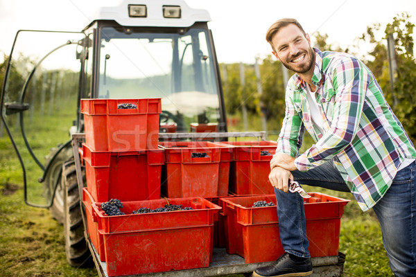 Young man harvesting red grapes in vineyard Stock photo © boggy