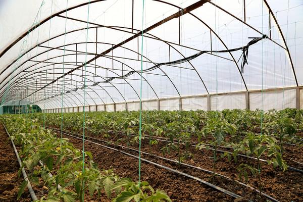 Tomate alimentos tecnología verde plástico Foto stock © boggy