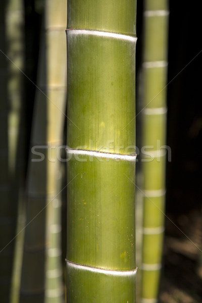 Bamboo Stock photo © boggy