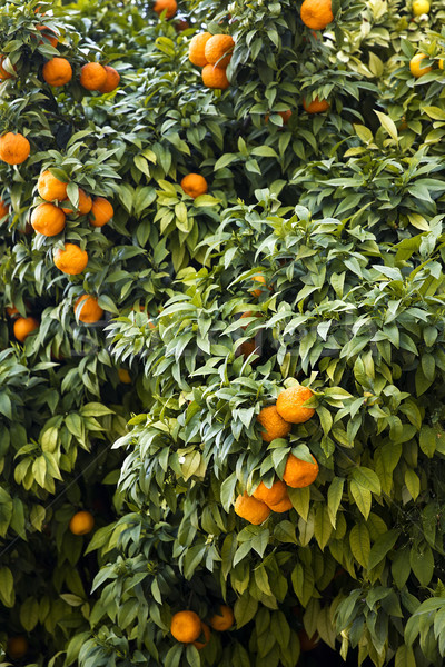 Vue orange plantation arbre Photo stock © boggy