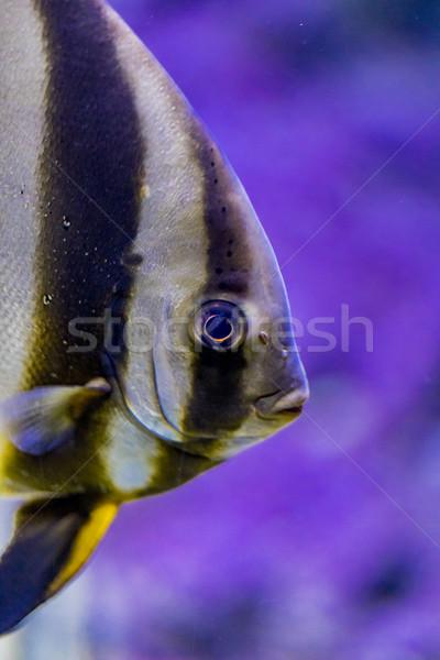 Orbicular batfish in the water Stock photo © boggy