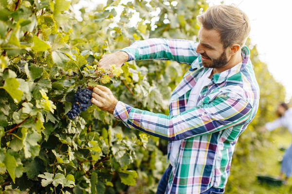 Young man working in the vineyard Stock photo © boggy