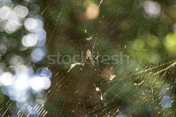 クモ 表示 純 森林 光 ウェブ ストックフォト © boggy