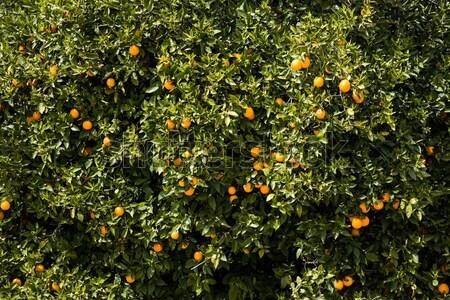 мнение оранжевый плантация дерево Сток-фото © boggy